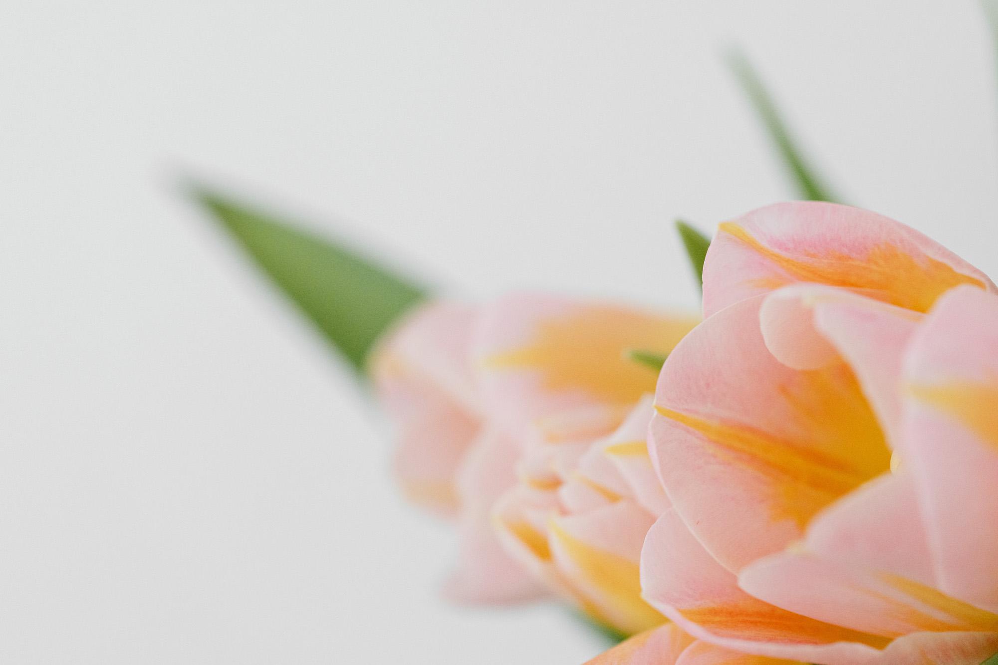 kaboompics_Pink and yellow tulips-3r