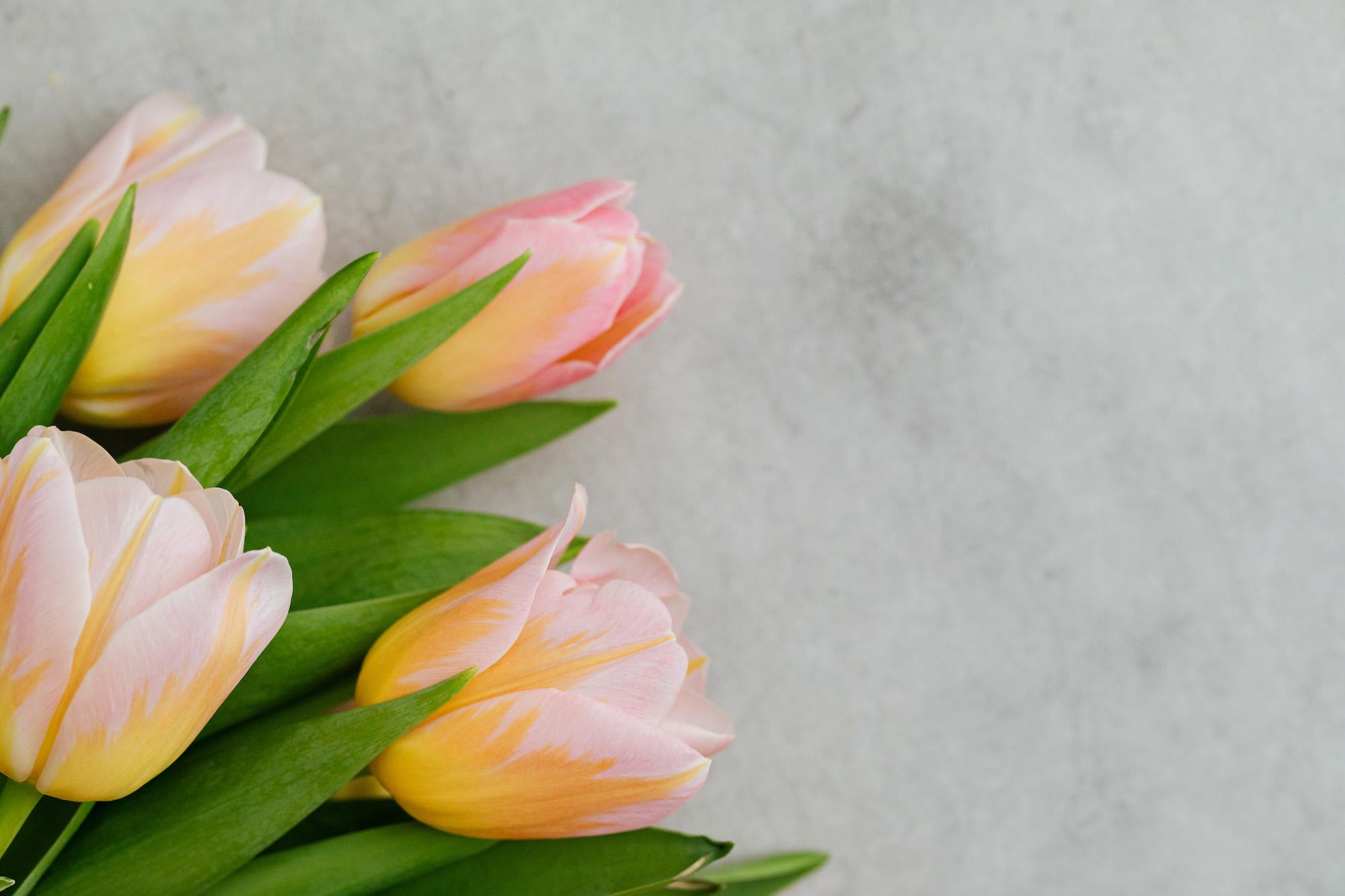 kaboompics_Pink and yellow tulips-r